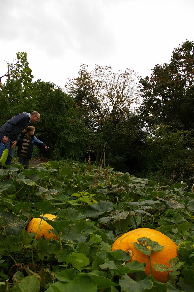 Giant pumpkins in the garden