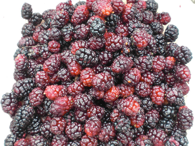 Juicy mulberries