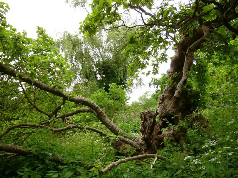 Our mulberry tree, one of the oldest trees in The Rookery
